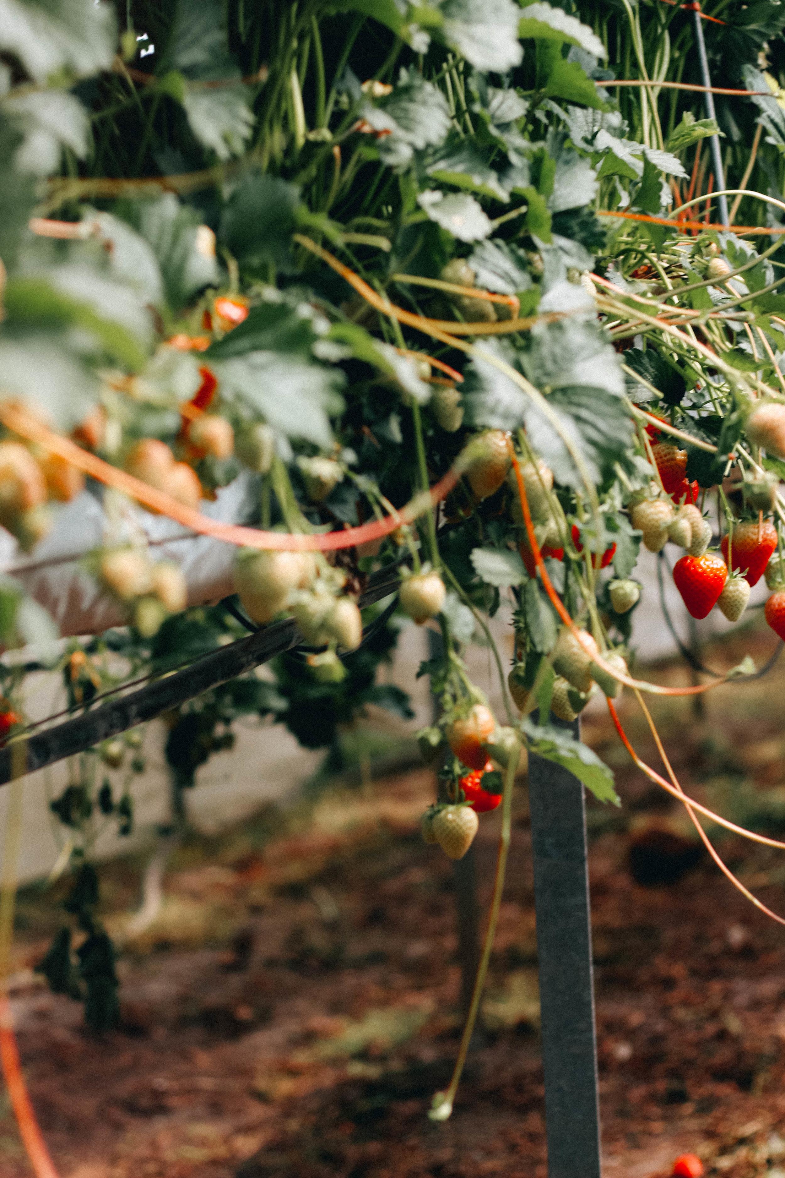strawberry picking Scotland ripe glasgow