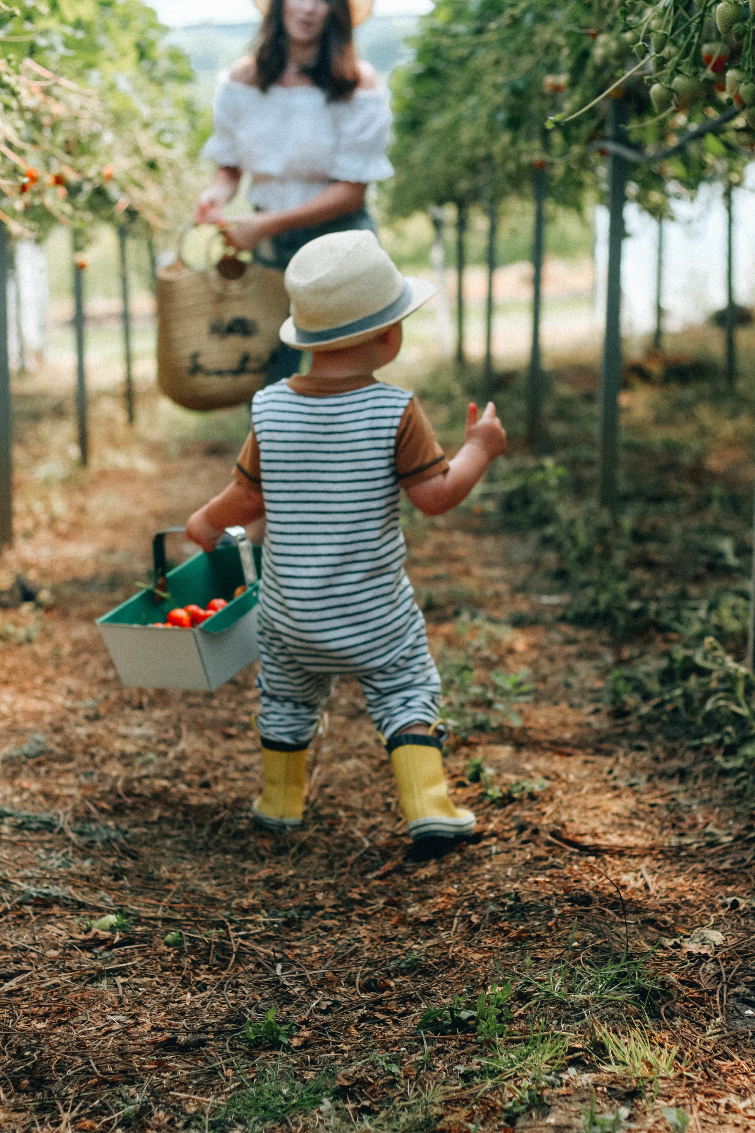 strawberry picking scotland at craigies farm edinburgh