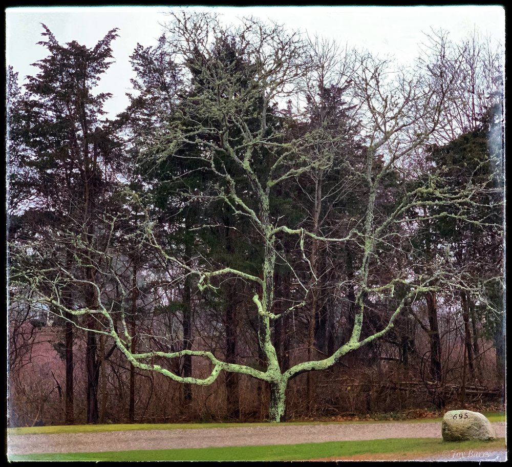 """January 20, 2019 - I love the way the pre-storm light made this tree """"pop"""" (Route 6A, Barnstable, Massachusetts)."""
