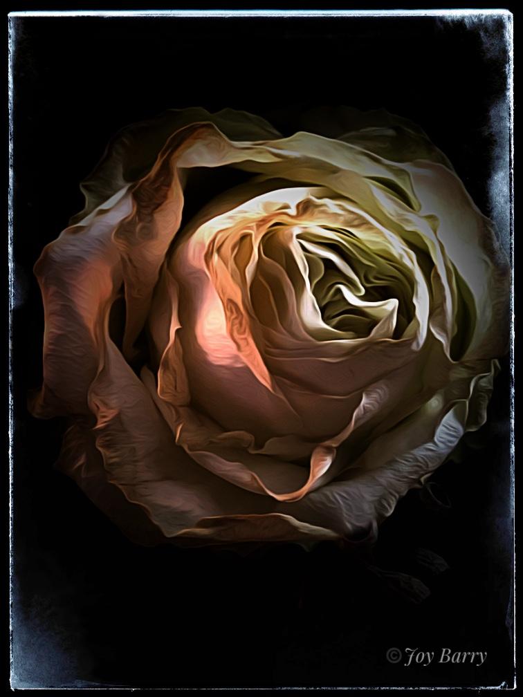 January 17, 2019 - Velveteen Rose.