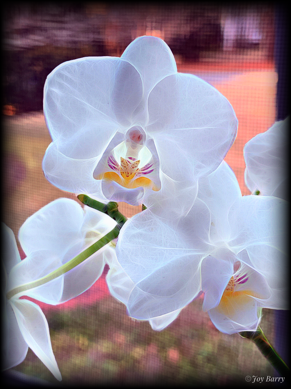 March 28, 2019 - The reverence of the white orchid.
