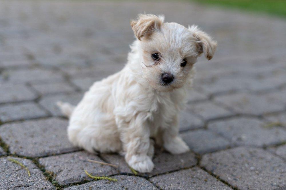 7-week-maltipoo-puppies-00001.jpg