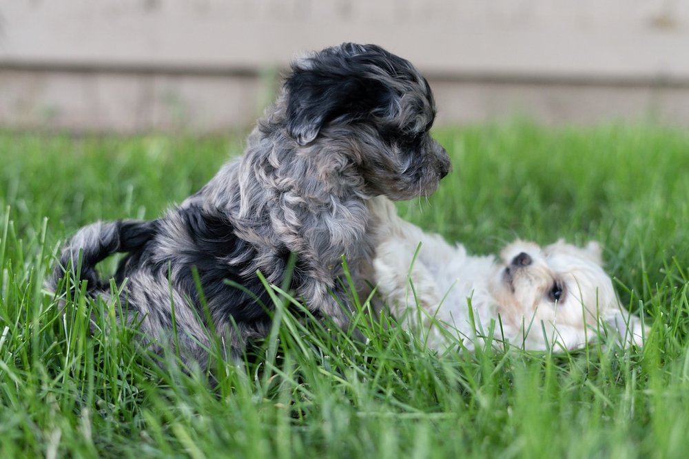7-week-maltipoo-puppies-00004.jpg