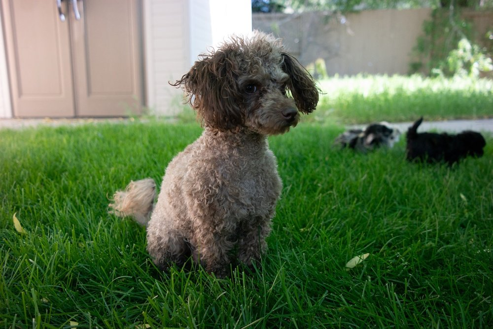 6-week-maltipoo-puppies00002.jpg