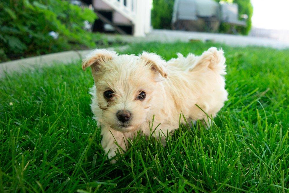 6-week-maltipoo-puppies00003.jpg
