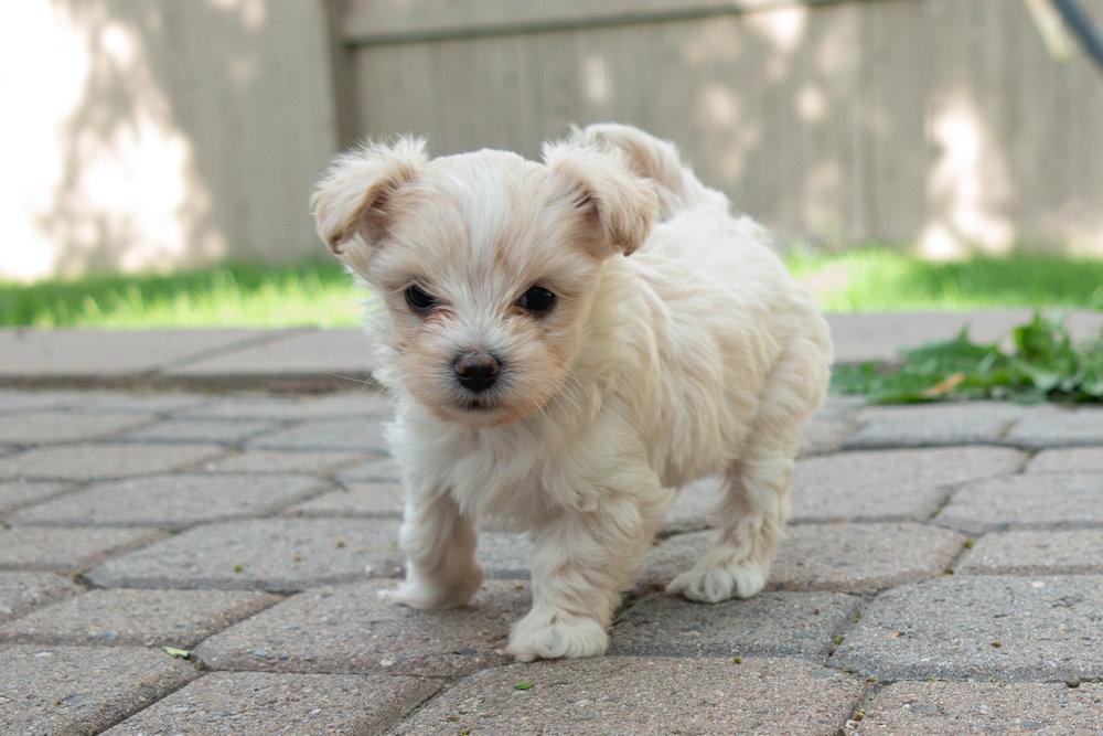 5-week-maltipoo-puppies00001.jpg