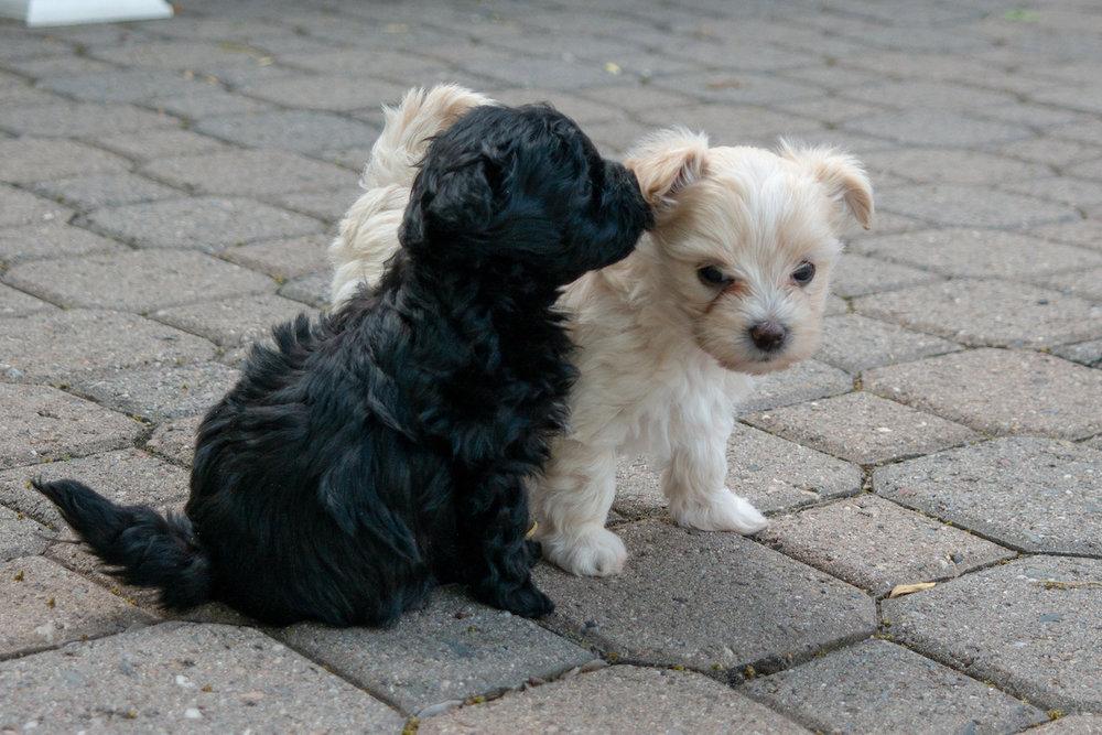 5-week-maltipoo-puppies00002.jpg