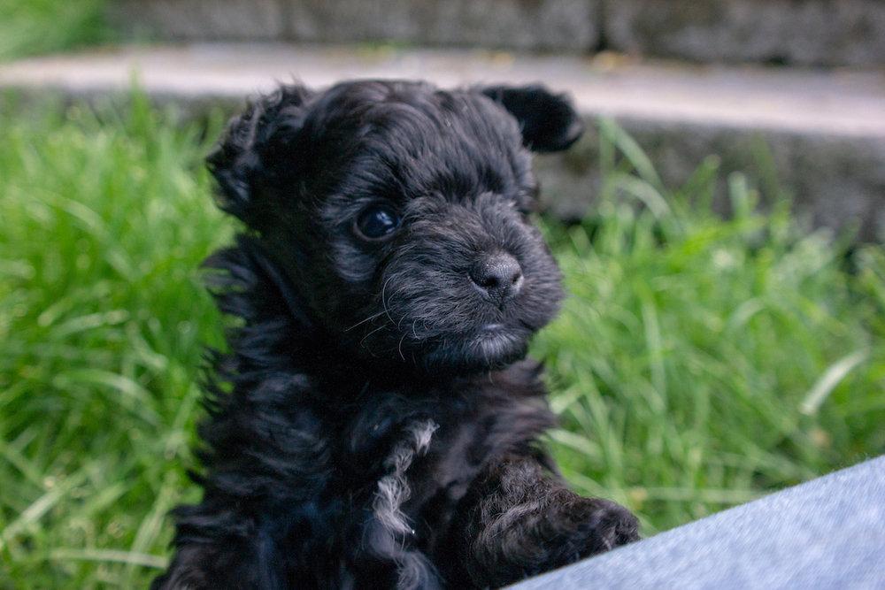 5-week-maltipoo-puppies00004.jpg