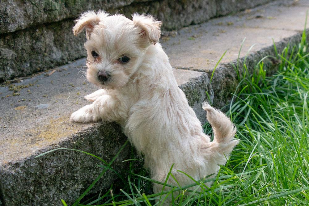 5-week-maltipoo-puppies00003.jpg