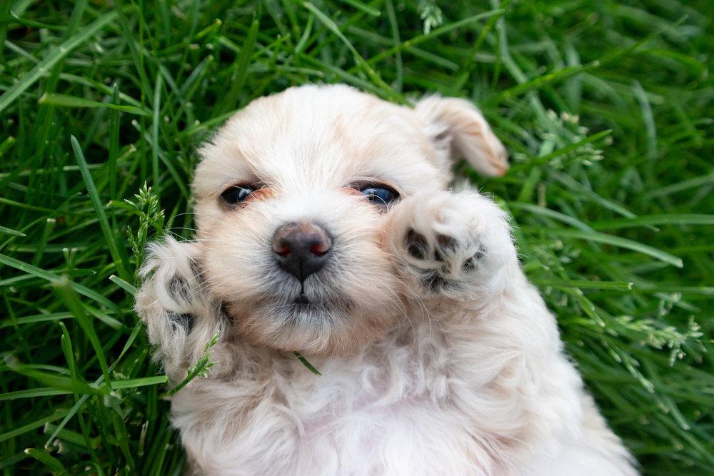 5-week-maltipoo-puppies00005.jpg