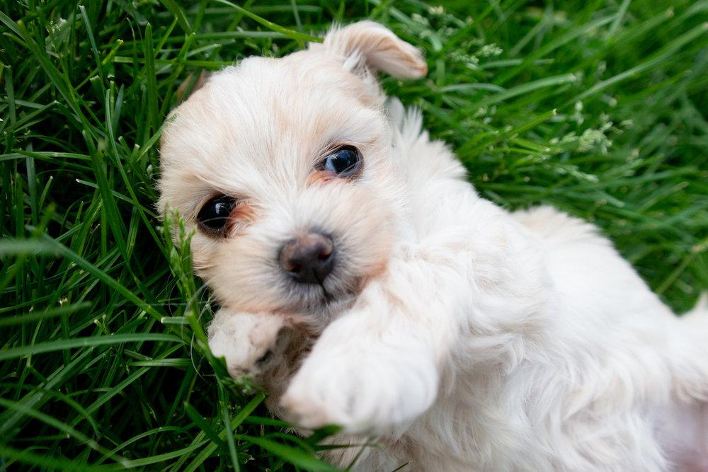 5-week-maltipoo-puppies00006.jpg