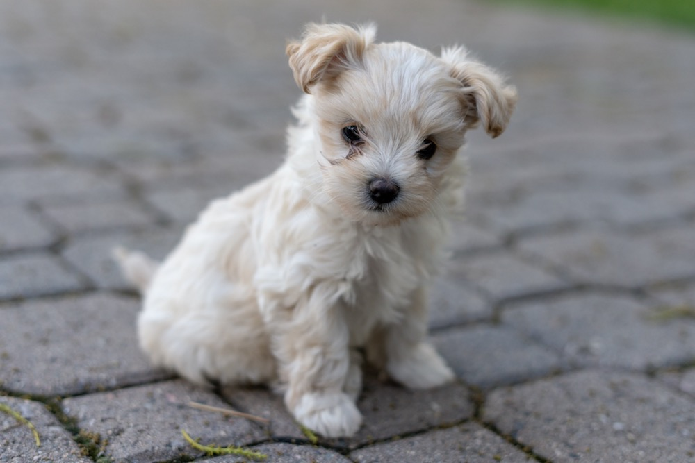 puppy-maltipoo-heidi.jpg