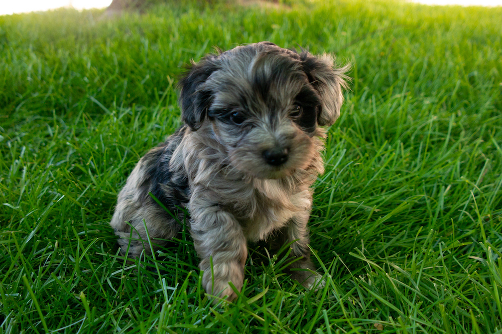 puppy-maltipoo-zhuli.jpg