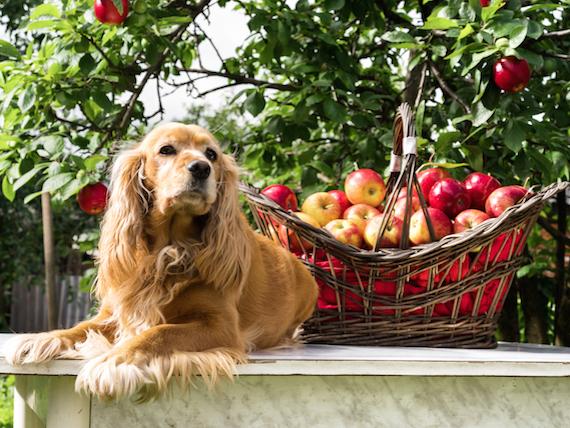 dog-with-basket-apples.jpg