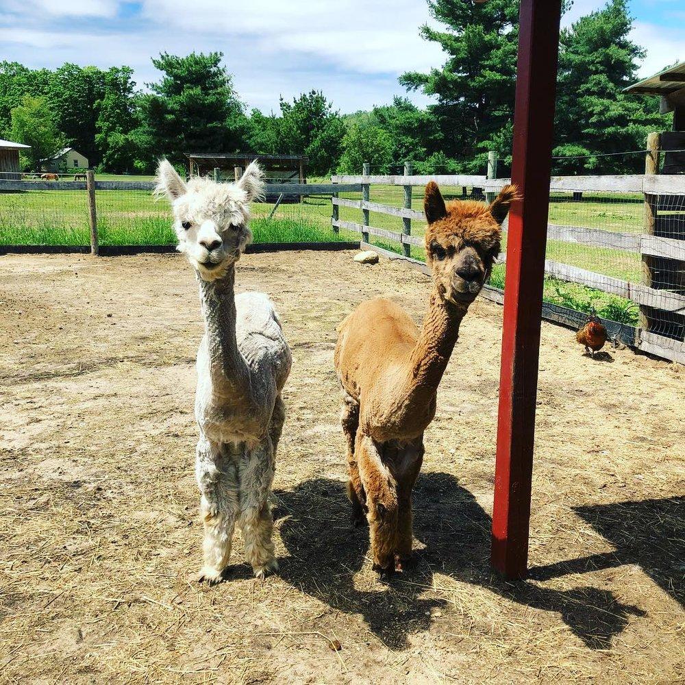 Llamas at Peace Ranch in Traverse City, MI