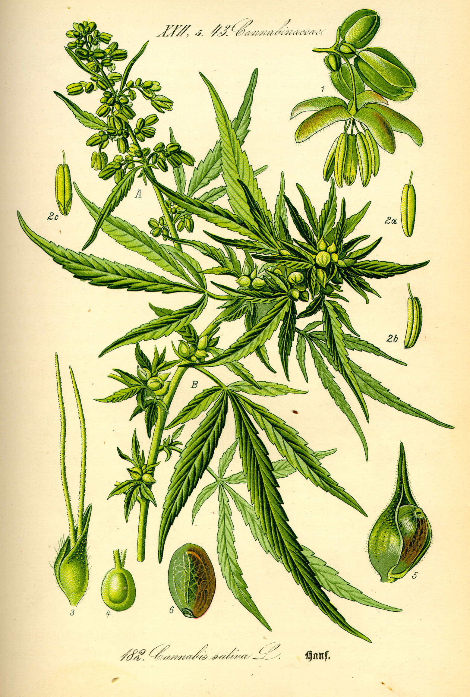 Original book source: Prof. Dr. Otto Wilhelm Thomé ''Flora von Deutschland, Österreich und der Schweiz'' 1885, Gera, Germany