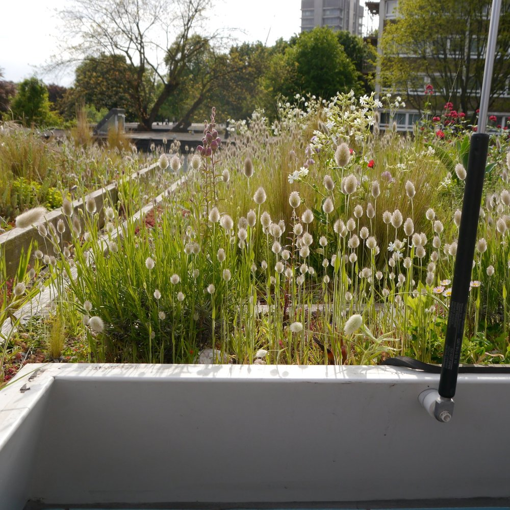 Green roofs - I understand green roofs because I have specified and installed several with my own hands, including on  my own house. I work with architects to design, specify and install green roofs on new and existing buildings. A green roof insulates the building underneath from temperature extremes, prolongs the life of the roof, stores and delays rain runoff, intercepts pollution, provides a home for plants and animals and gives beauty to humans in unexpected places.