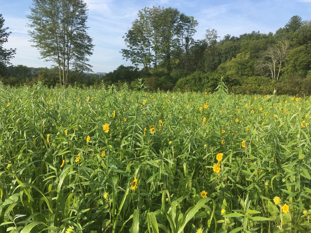 Cover crops at Tributary Farm, Summer 2018