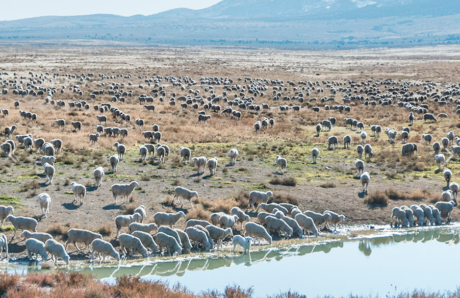 Privately-owned sheep at an Onaqui wild horse watering hole.  Photo by Greig Huggins