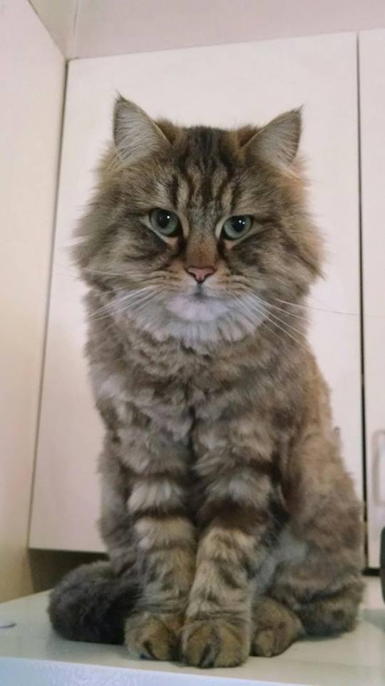 """Comb Cut - This style gives a more fluffy appearance than the very short lion trim. Coat can be left 1/2-3/4"""" long. Many times this is a better option for older cats with paper thin skin.Less hair, less shedding, but a cute """"teddy bear"""" appearanceEverything included with the Full Service Groom is included with this trimComb Cuts Start at $120.00 plus tax"""