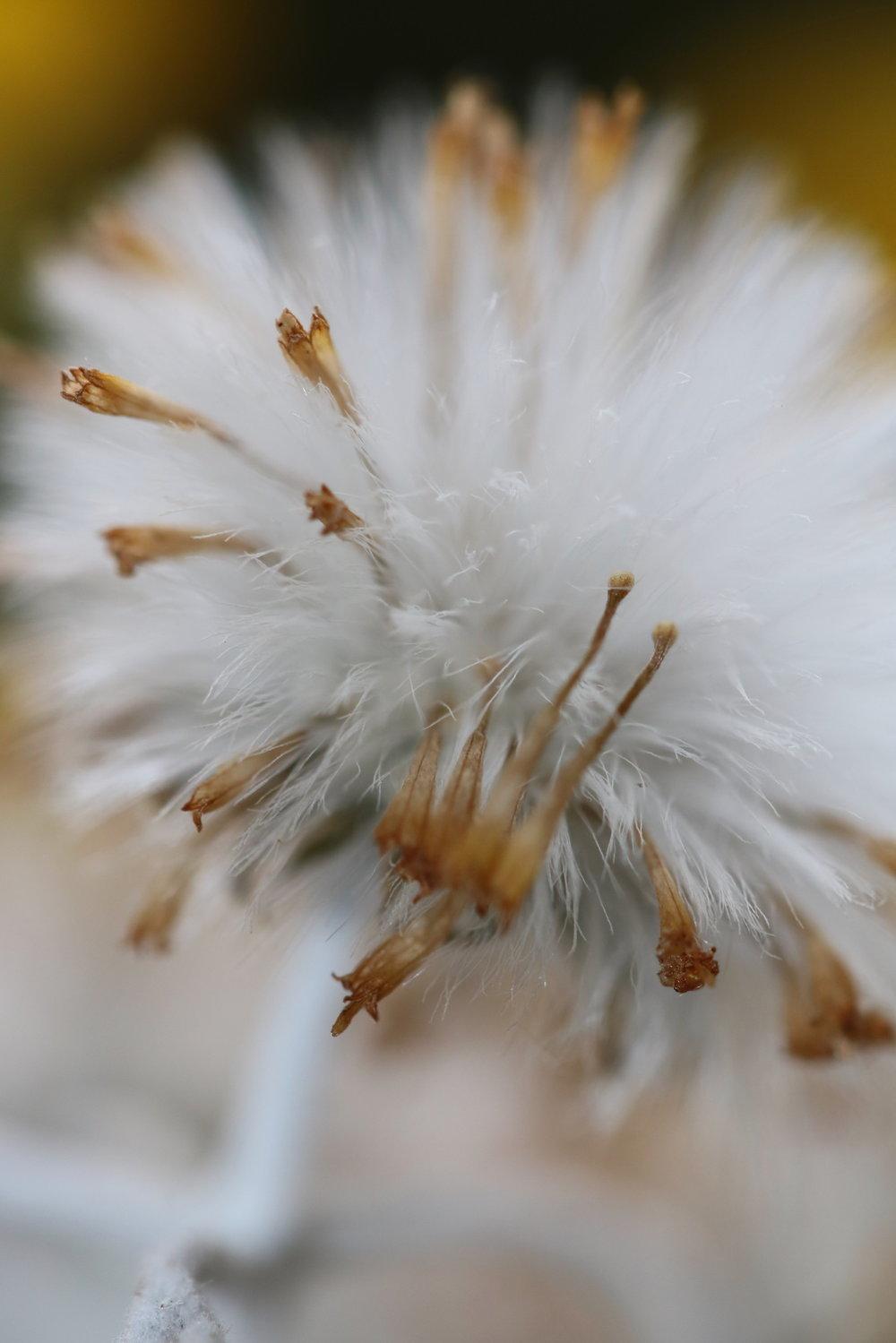 Sedum Seed Head, 2018