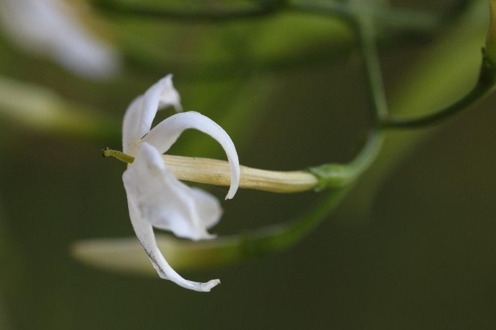 Jasmine Blossom, 2018