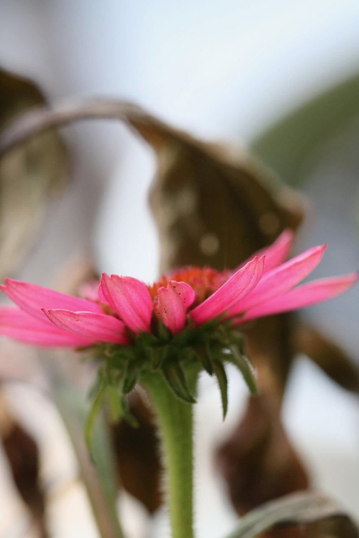 Echinacea Flower, 2018