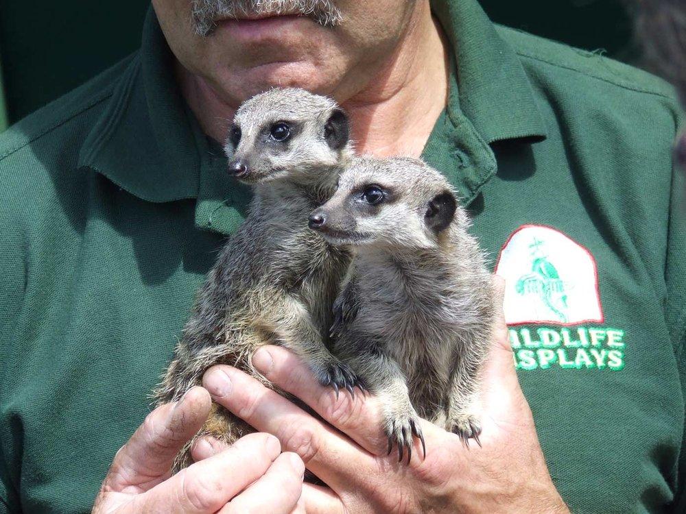 meerkats-at-silverstone-woodlands-campsite-near-circuit-1400w.jpg
