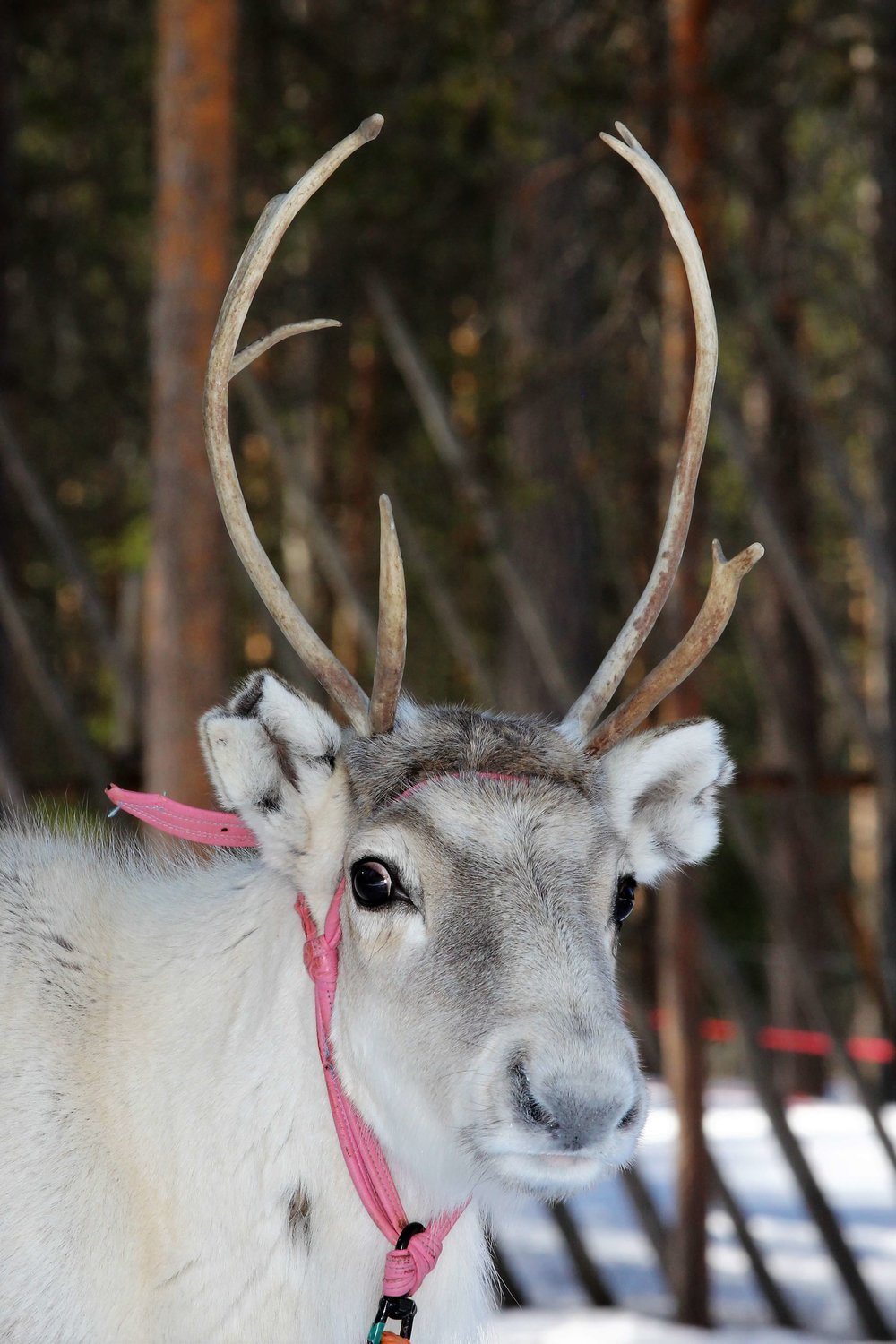 POROKELLO IN NUMBERS - LAUNCHED: 13 SEP 2017OPERATING AREA: reindeer herding area, 36% of the total area of FinlandPEOPLE (PRO DRIVERS) MAKING ALERTS: 1500, starting from 06/2016ANNUAL COST OF REINDEER CRASHES: vehicle repairs ~15 million euros + ~100,000 kilos of reindeer meatPOROKELLO SUPPORTERS: Maaseuturahasto and OPAWARDS: The Police traffic safety award 2017 & SKAL award 2017