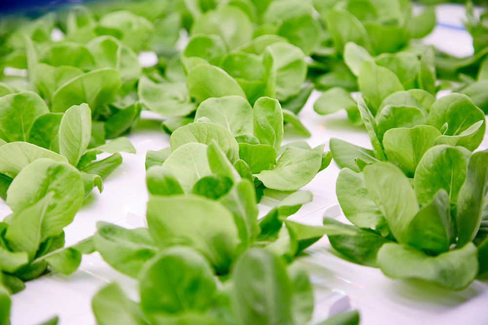 Head lettuce, leafy greens, culinary herbs, and micro-greens can all be grown in the RADIX.