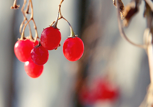 Image :: Winter Berries
