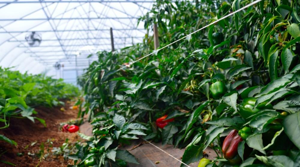 Sonya Weavil - TerraStay-greenhouse-peppers.jpg