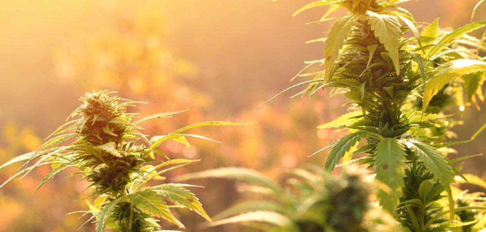 Cannabis banner.jpg