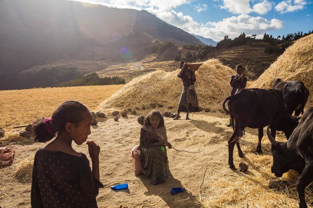 Using hand tools and draft animals, a family harvests wheat in Ethiopia's famine-prone highlands. PHOTOGRAPH BY ROBIN HAMMOND, NAT GEO IMAGE COLLECTION
