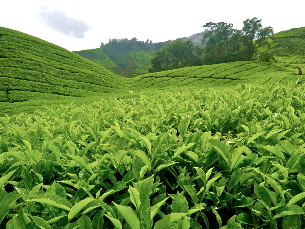 Tea field