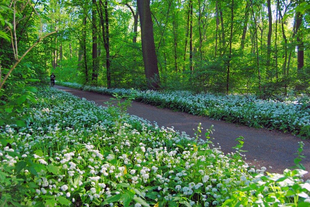 Auwald-Clara-Zetkin-Park_Baerlauch_Andreas-Schmidt_leipzig.travel.jpg