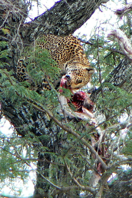 316. leopard munching morsel 2.jpg