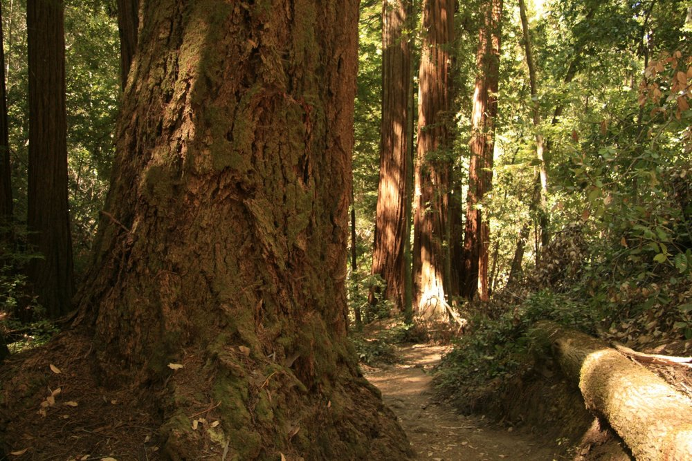 giant-redwood-trees-in-california-13922475629xA.jpg