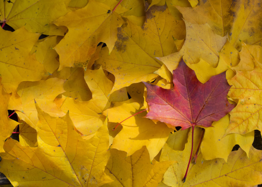 yellow-and-red-fall-leaves-861x614.jpg
