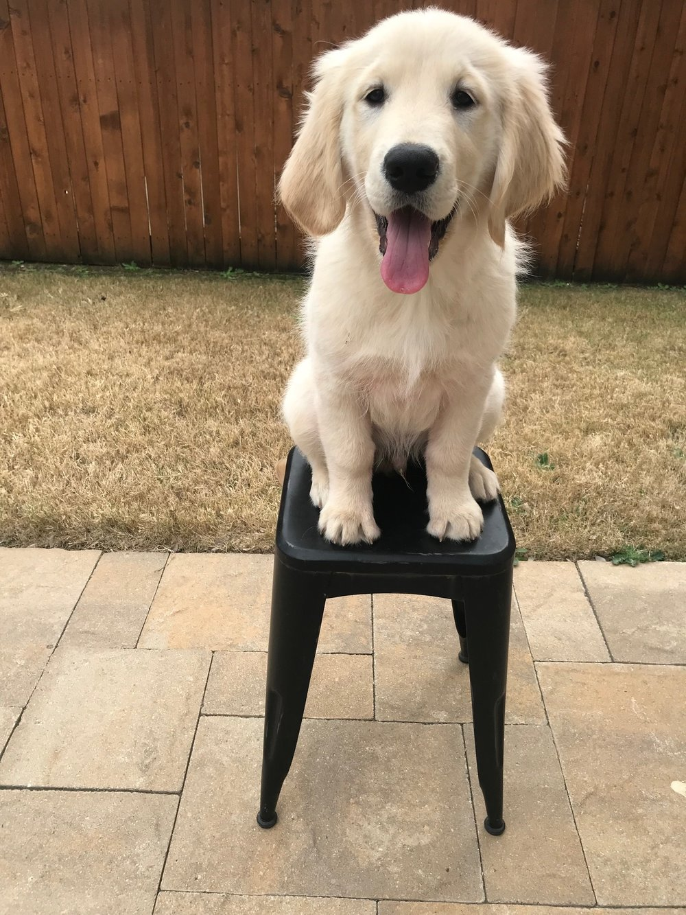 Pup Remy at 14 weeks happily working on his sit, stay and balancing skills!
