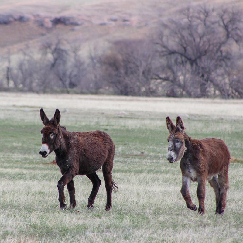 burros-donkeys-custer-state-park-willow-springs-cabins-black-hills-rapid-city-south-dakota