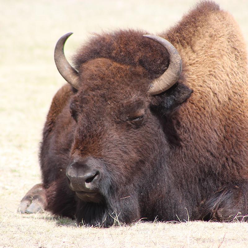 buffalo-custer-state-park-willow-springs-cabins-black-hills-rapid-city-south-dakota