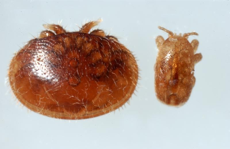 Size comparison of Varroa destructor (L) & Tropilaelaps clareae (R) C ourtesy The Animal and Plant Health Agency (APHA), Crown Copyright