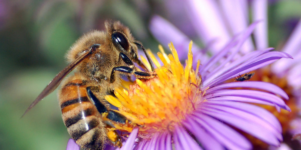 top-MEBW_Pic_Wikipedia-Commons_Bee_on_Aster.jpg