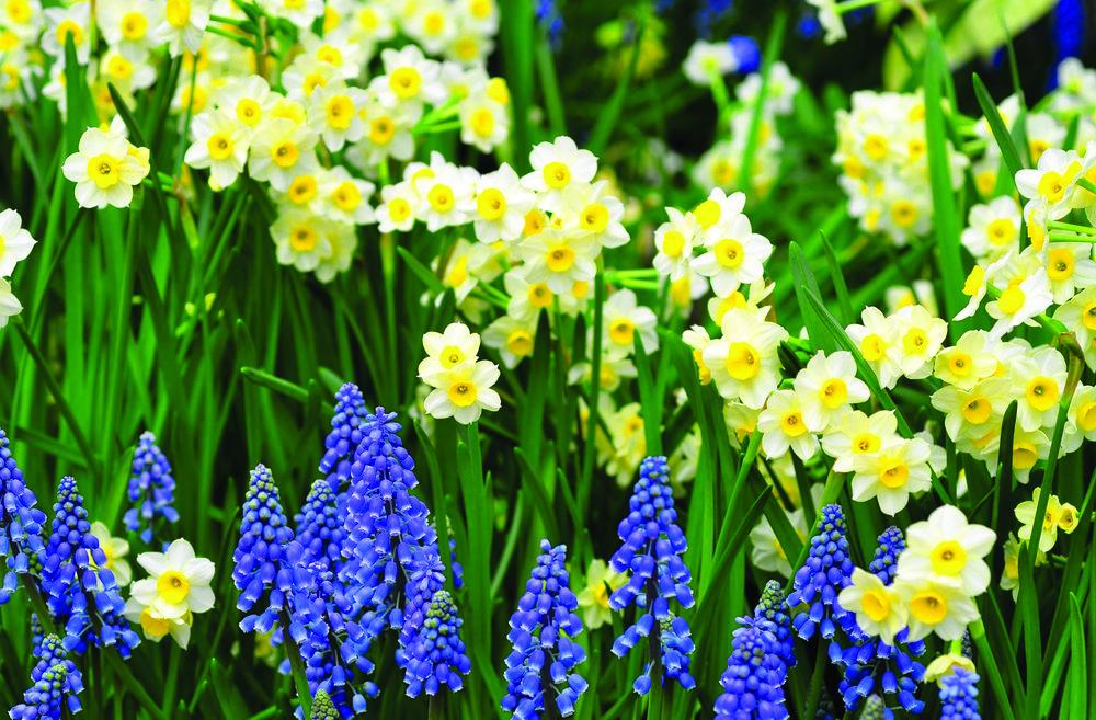daffodils_muscari_flowers_flowerbed_green_spring_36156 2.jpg