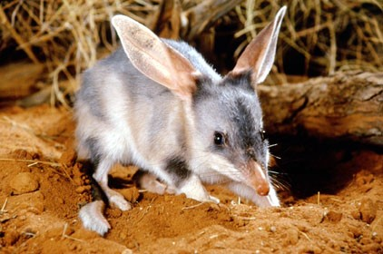 About - Find out about us and ourmission to help the Australian Bilby.