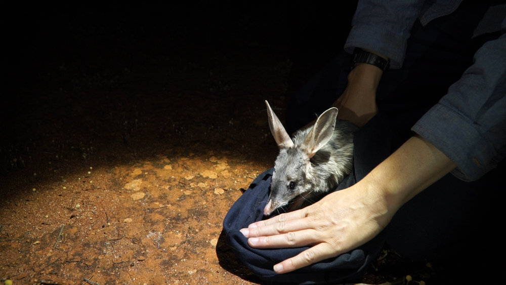 bilby release pilliga by AWC easter bilbies by Wildlife Conservation Co.jpg