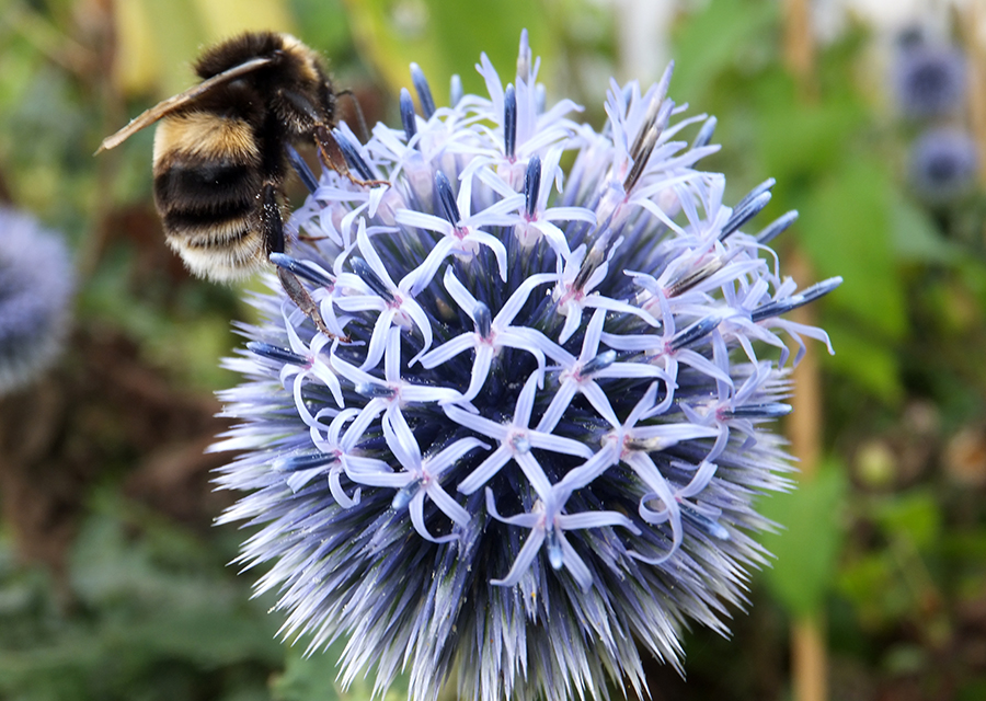 Blueflower-with-bee.jpg