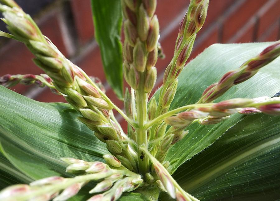Corn-Close.jpg