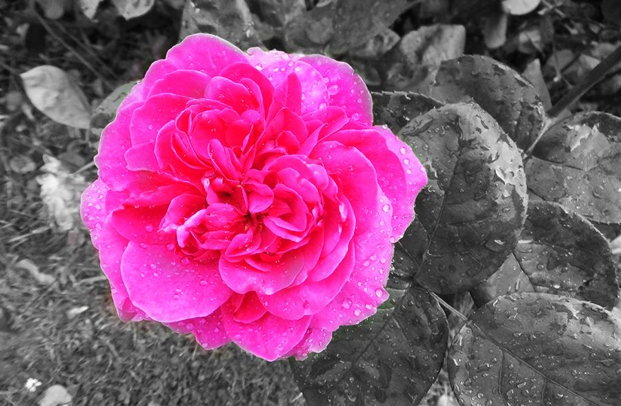 Pink-Flower-grey.jpg